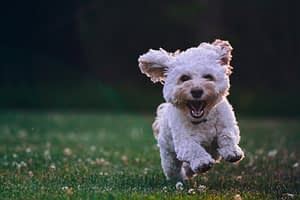 Happy dog running towards camera