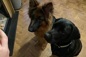 Bo and Teddy waiting for a treat