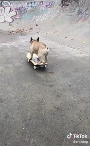 Dog on a skateboard