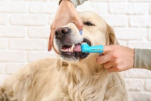 Cleaning dog's teeth with finger brush