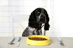 Cocker Spaniel with bowl of dry dog food